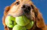 MOST-TENNIS-BALLS-HELD-IN-THE-MOUTH-DOG
