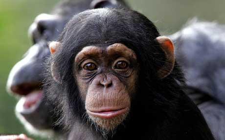 chimp_1476818c